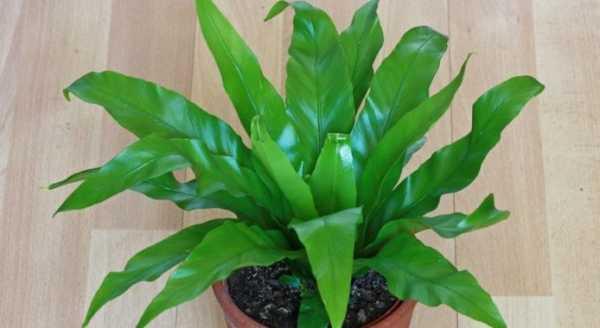 Растение асплениум