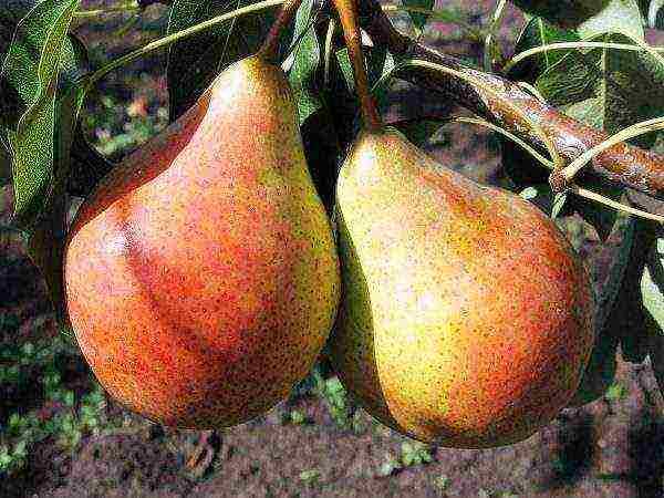 Груша лада: ранняя, сочная, урожайная