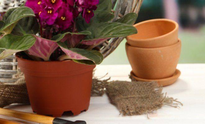 Размножение кротона в домашних условиях