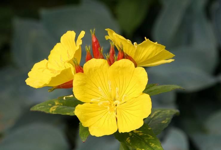 Энотера: описание,фото,видео,выращивание,уход,размножение,виды