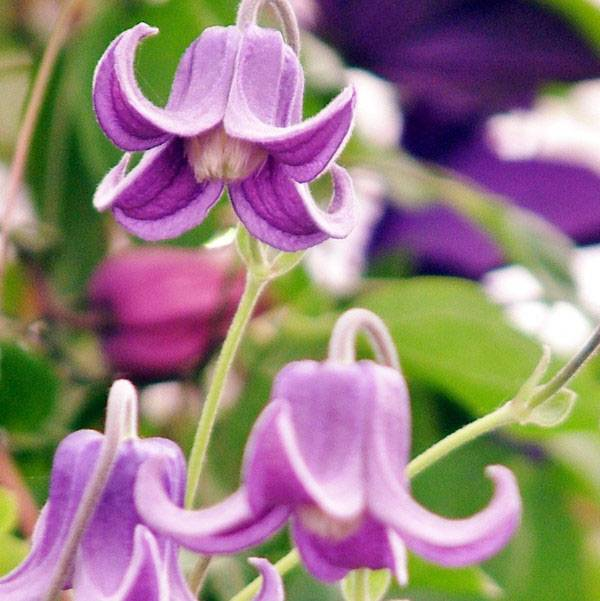 Размножение клематисов и уход весной и летом