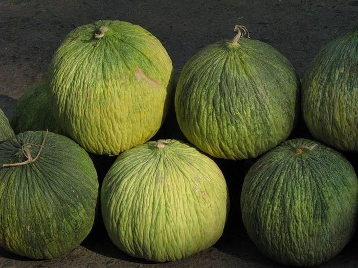 Посадка дыни семенами в открытый грунт в июне 2020: лучшие сорта и полная агротехника выращивания сладкой дыни