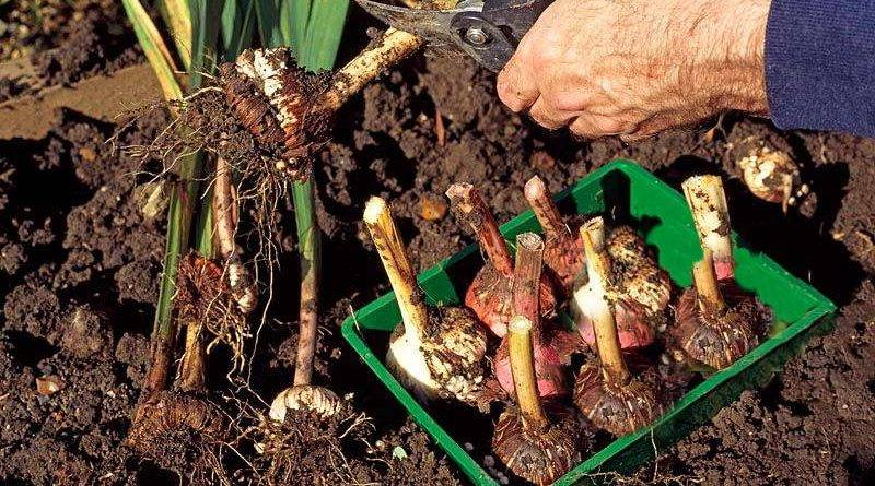 Весенняя посадка гладиолусов в открытый грунт: сроки высадки луковиц, основы ухода и выращивания