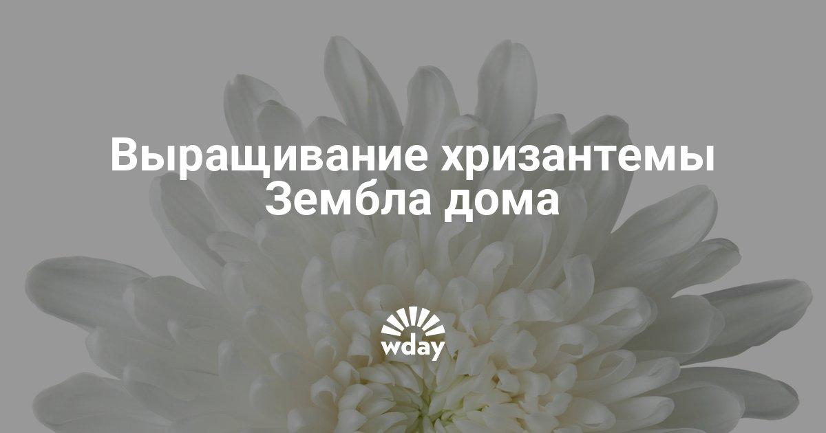 Хризантема – популярная срезка