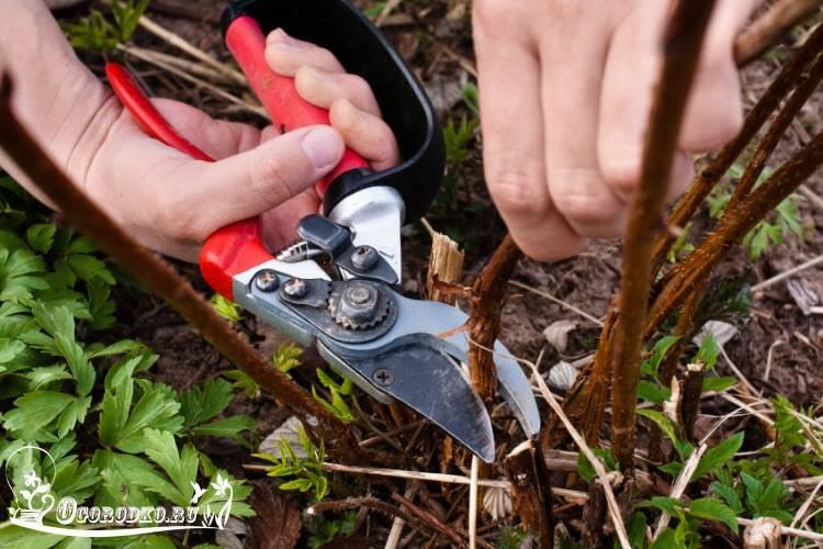 Как и когда правильно обрезать малину весной для хорошего урожая