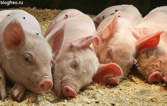 Выращивание свиней в домашних условиях, как бизнес