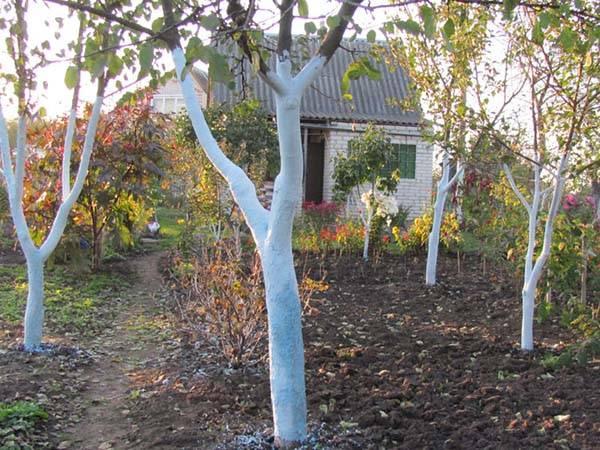 Как и чем побелить яблоню: полное руководство