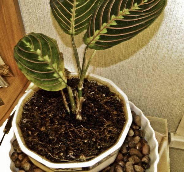 Первая помощь калатее, если сохнут и скручиваются листья