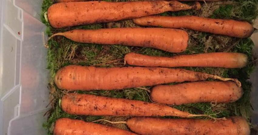 Как хранить морковь в погребе зимой: в пакетах, опилках, луковой шелухе… 8 разных способов.