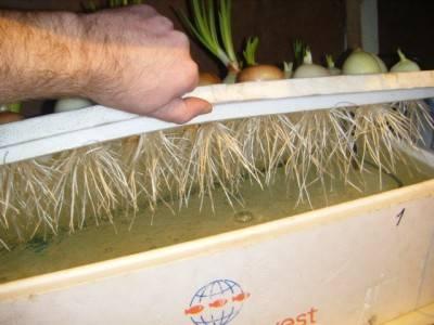 Выгонка лука на перо в домашних условиях