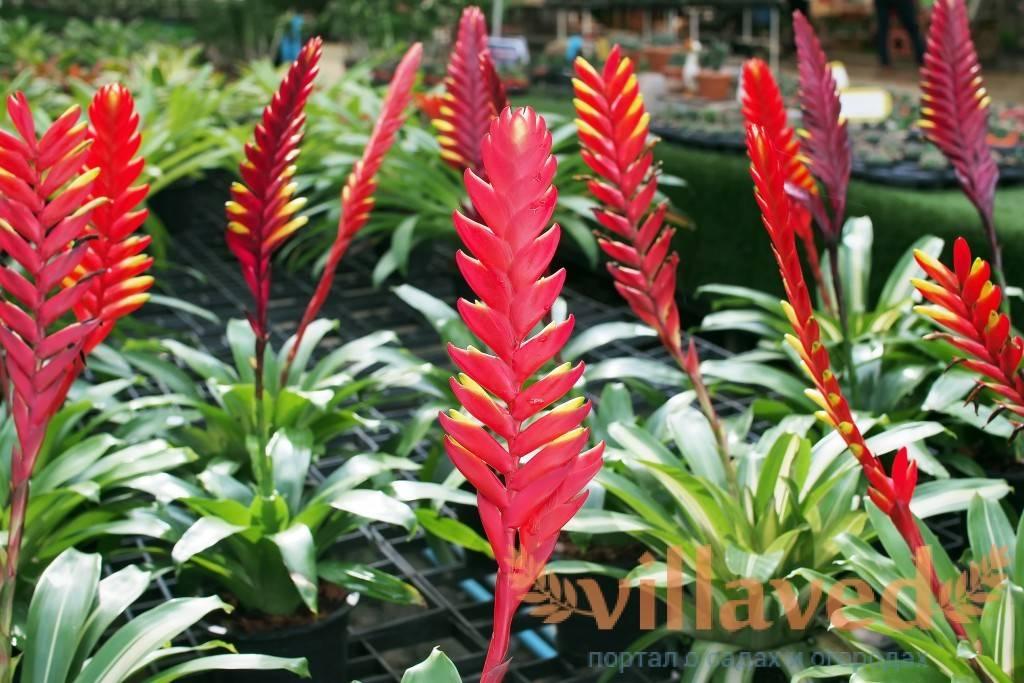 Вриезия (vriesea). виды, правила ухода и полива.