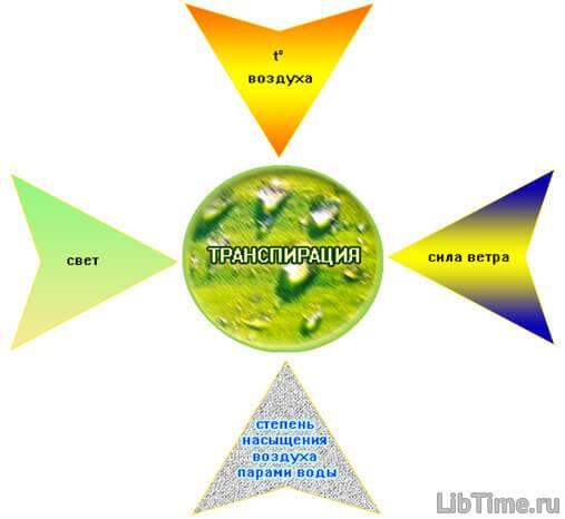 Интенсивность транспирации — водный режим