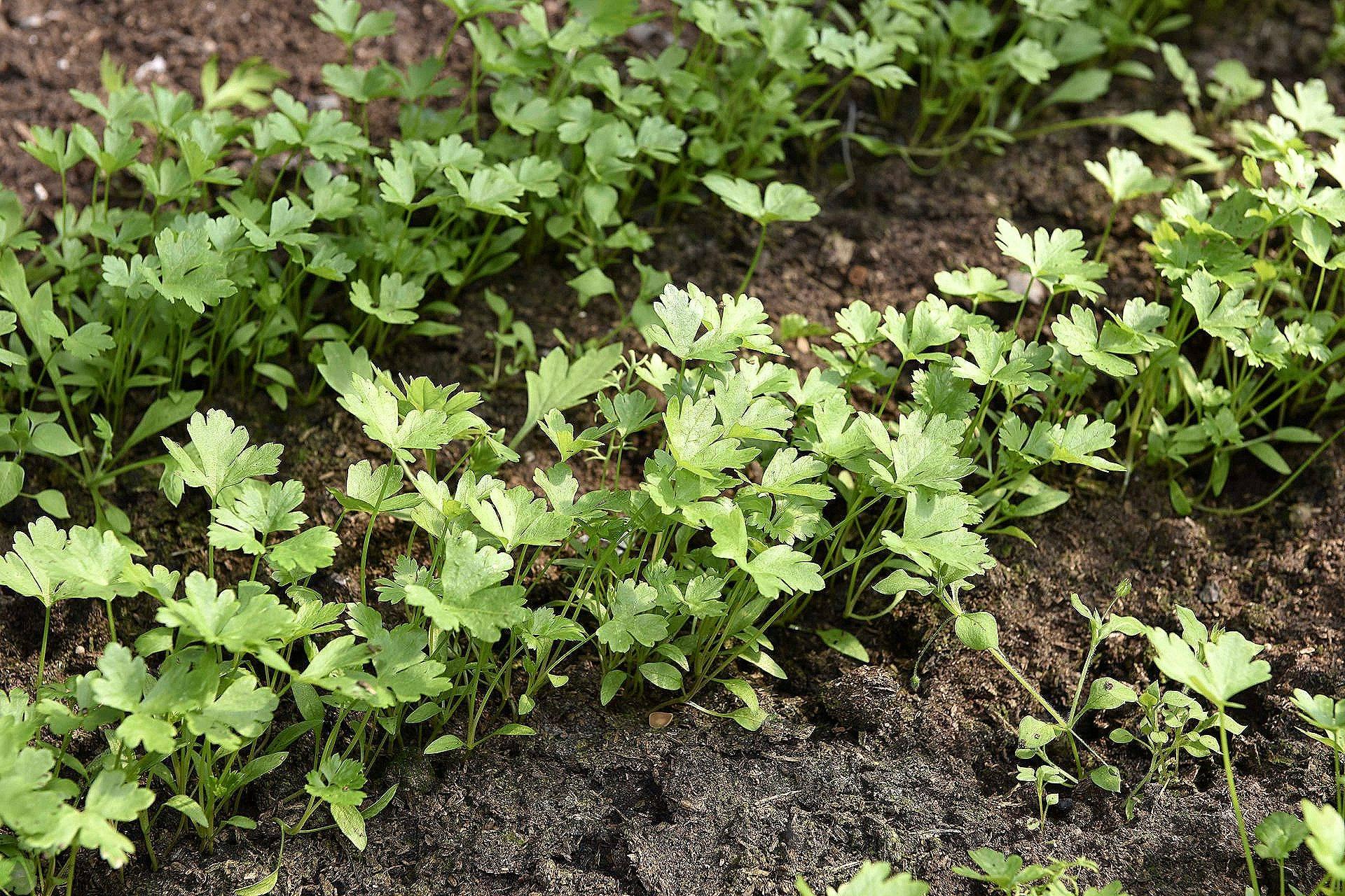 Выращивание петрушки из рассады от а до я: классический способ и необычный метод для домашних условий