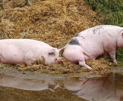 Болезнь свиней рожа опасна не только для животных