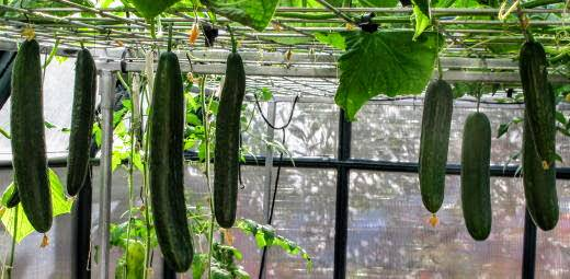 Технология и особенности выращивания огурцов на гидропонике