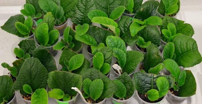 Выращивание стрептокарпуса из семян