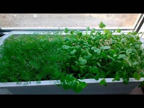 Как вырастить укроп на подоконнике