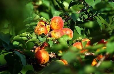 В чем разница между жерделой и абрикосом — это надо знать