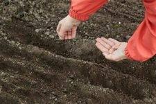 Щавель: выращивание и полезные свойства
