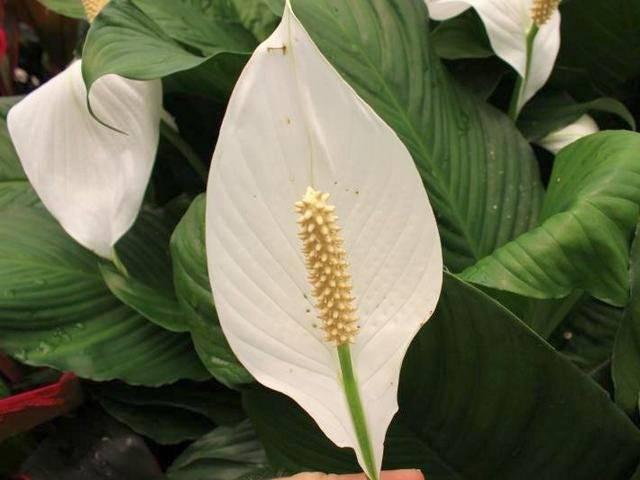 Спатифиллум «сенсация»: характеристика сорта и особенности его выращивания