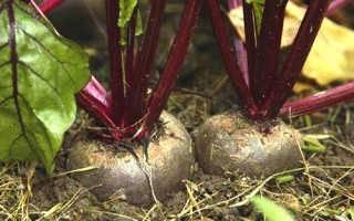 Выращивание свеклы − раскрываем все секреты