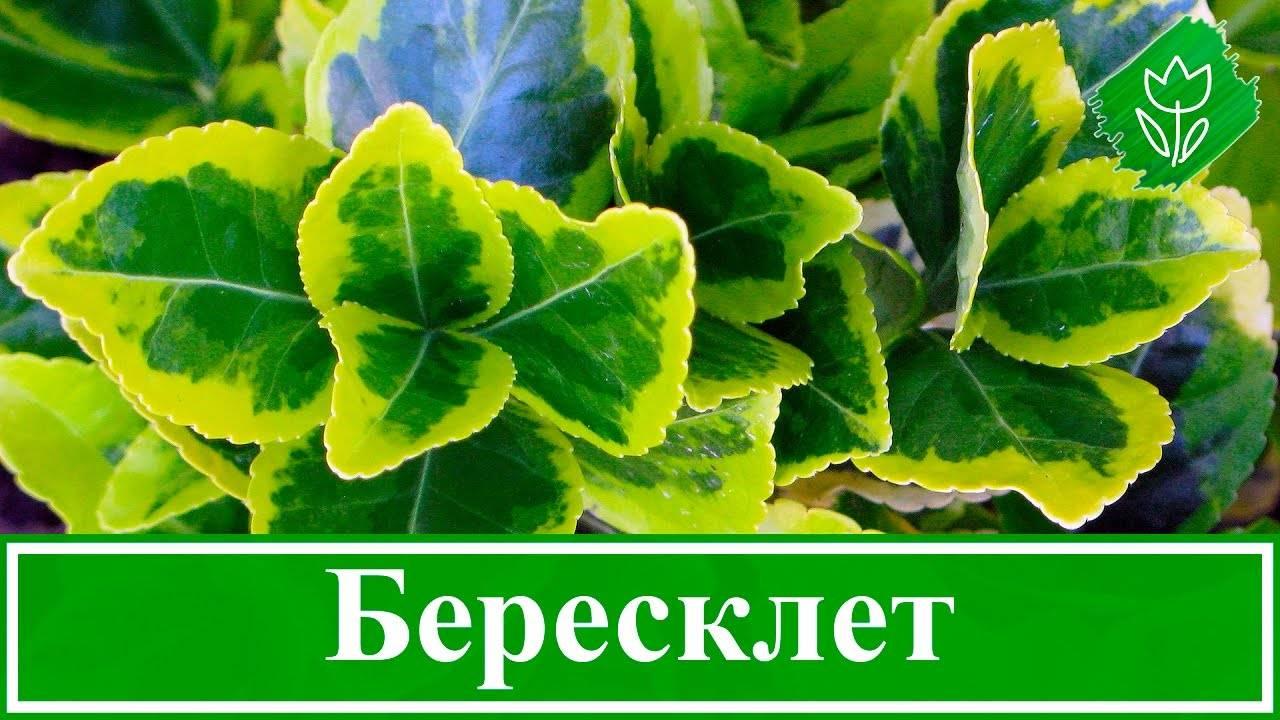 Бересклет: описание и советы по выращиванию