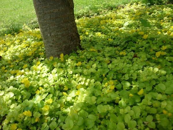 Вербейник посадка и уход в открытом грунте удобрение размножение