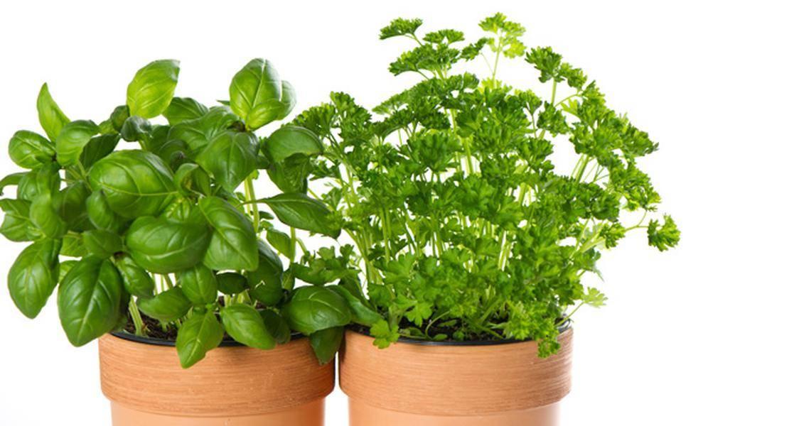 Секреты выращивания лекарственного шалфея: посадка, выращивание, уход