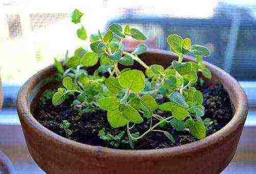 Высадка рассады душицы в открытый грунт. душица или орегано — неприхотливая лекарственная культура в саду. выращивание, уход и размножение