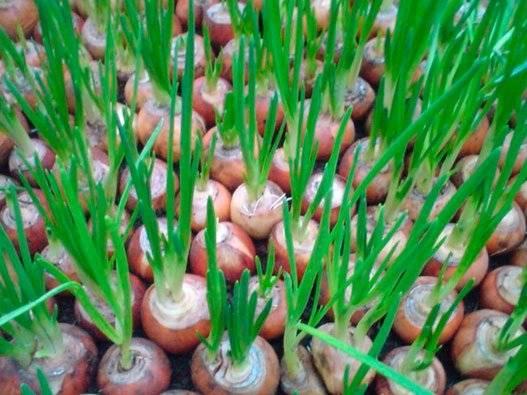 Советы по посадке черемши на даче семенами