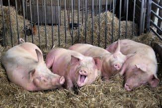 Особенности разведения свиней: кормление, уход, содержание