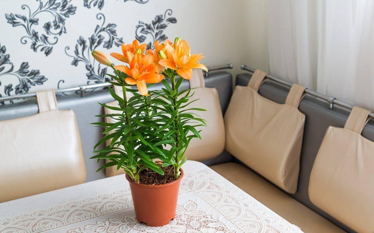 Как правильно ухаживать за лилией в горшке: пересадка в домашних условиях