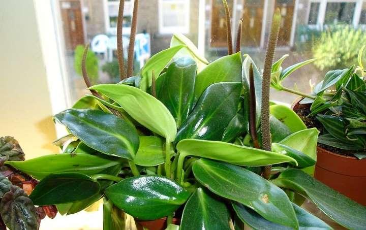 Секреты выращивания и уход за пилеей «пеперомиевидной» в домашних условиях