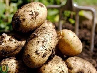 Срок созревания картофеля от посадки до сбора урожая: период вегетации