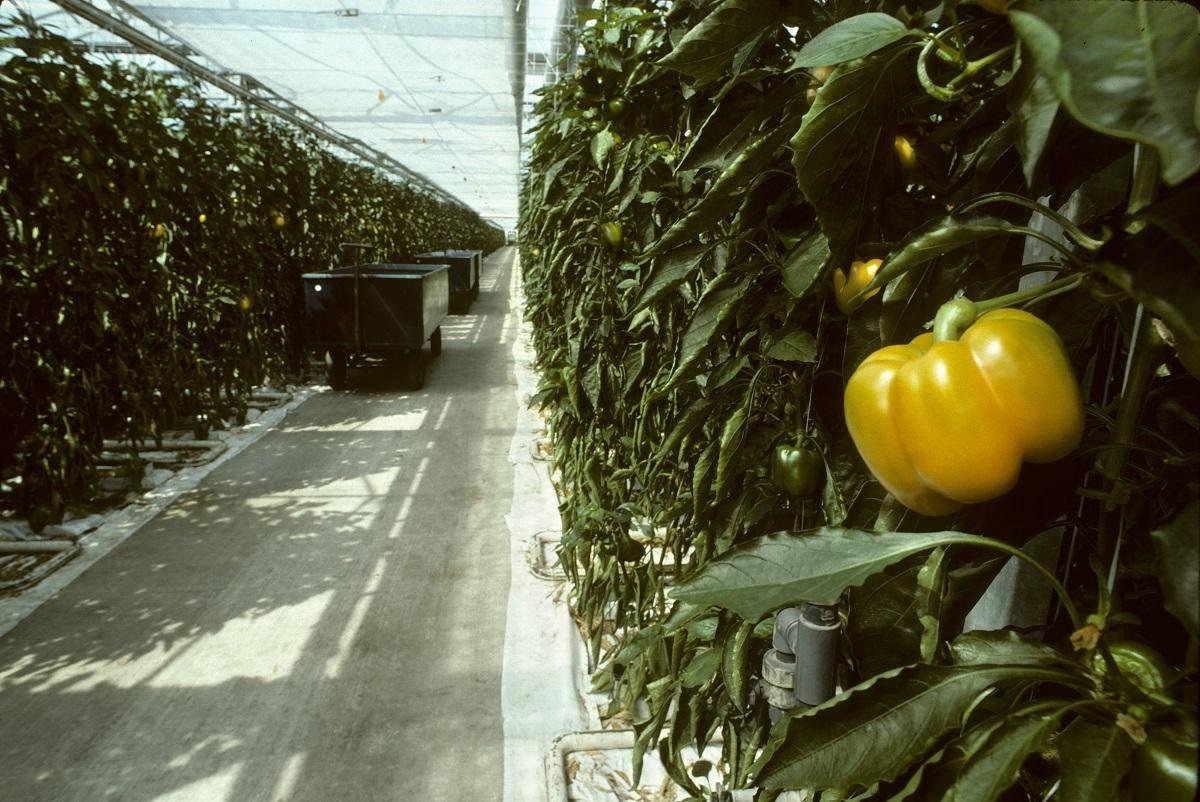 Перец в теплице: секреты технологии выращивания и особенности посадки и сбора урожая (видео + 105 фото)