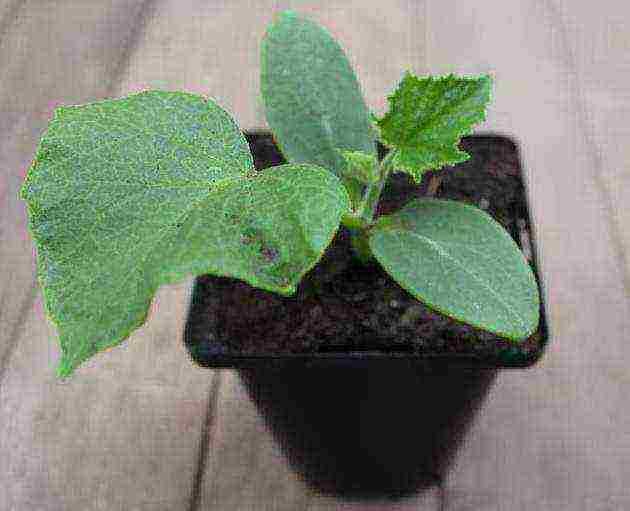 Когда лучше высаживать рассаду кабачков и как помочь ей прижиться в открытом грунте?