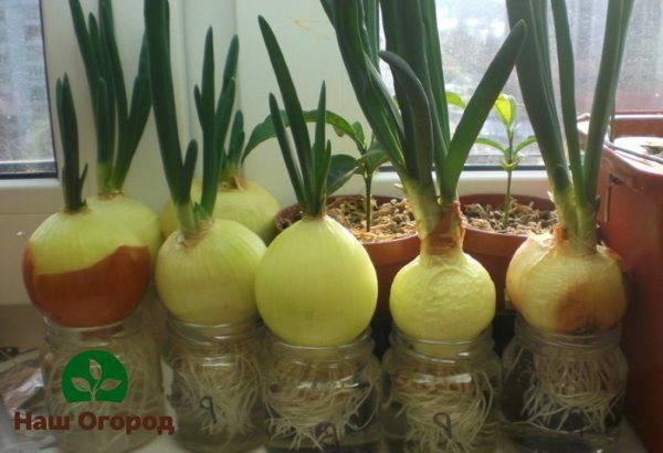 Как сажать лук севок на подоконнике