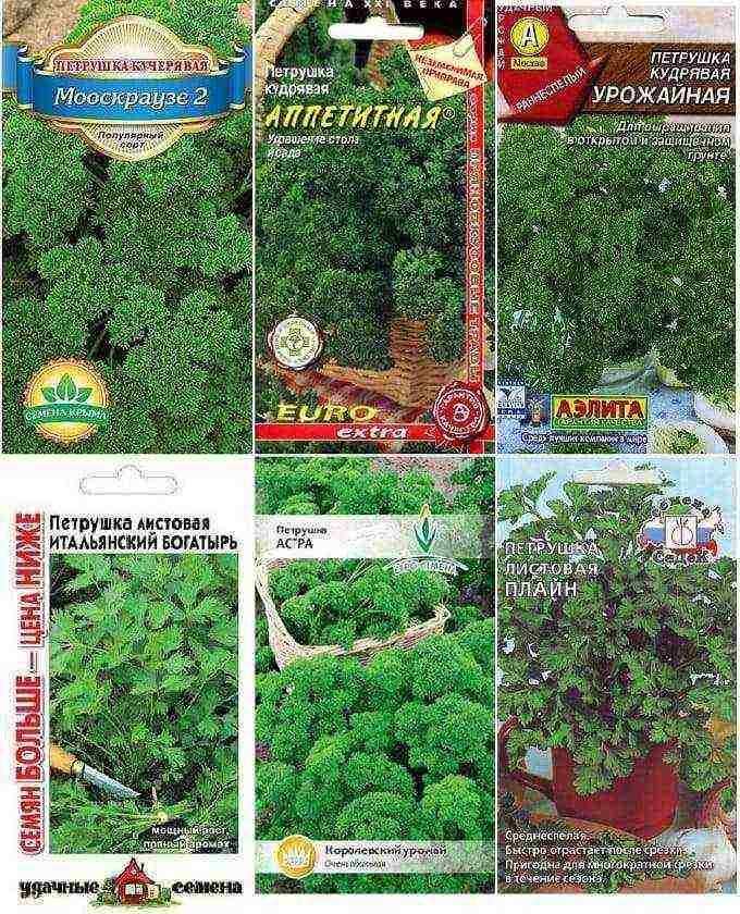 Неприхотливая и полезная петрушка корневая - интересные факты об овоще, особенности выращивания