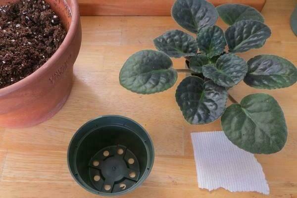 6 причин, почему не цветут фиалки в домашних условиях