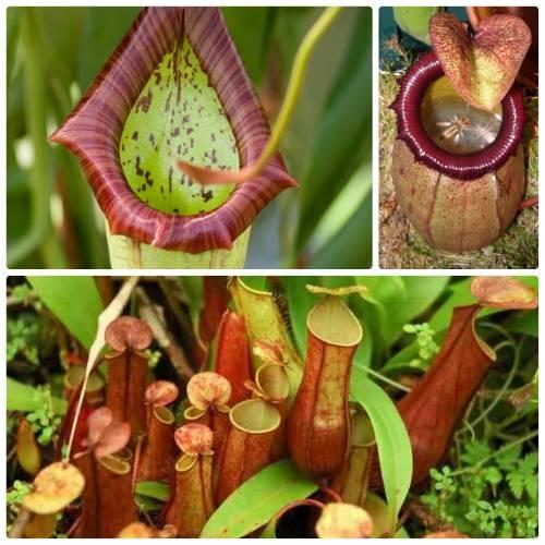 Самое крупное хищное растение — непентес раджа