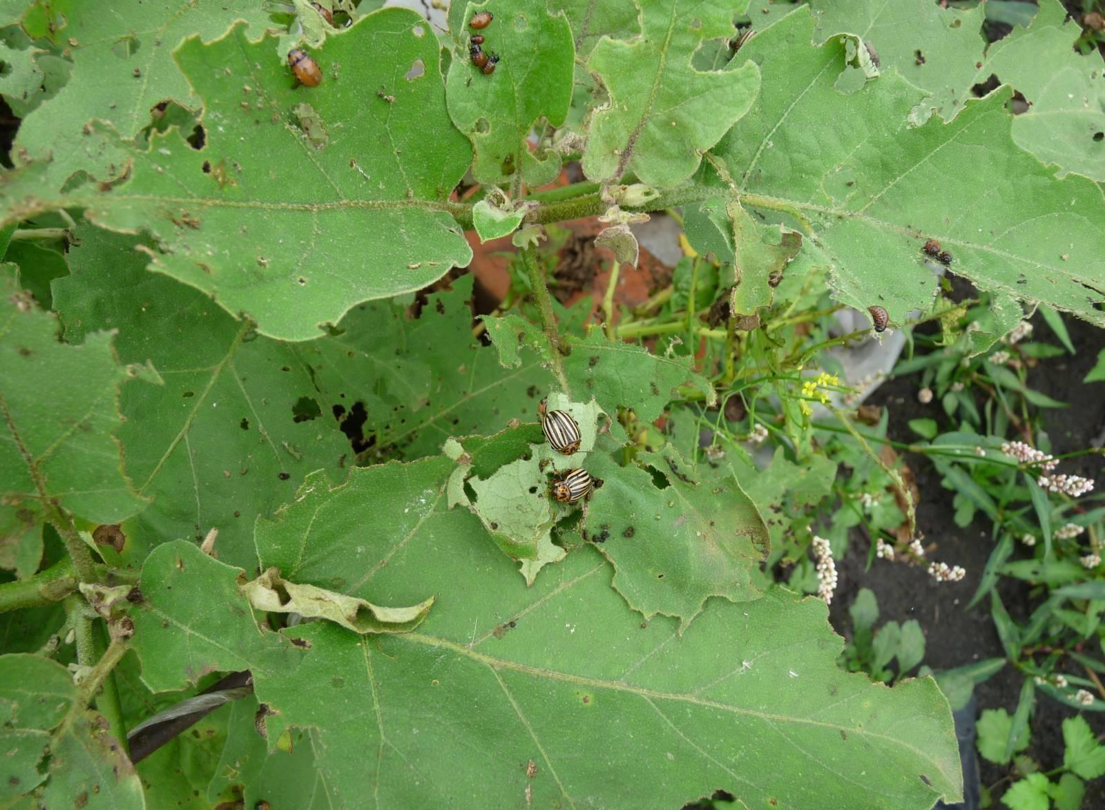 Болезни баклажан – основные вредители и правила ухода за овощем (64 фото)