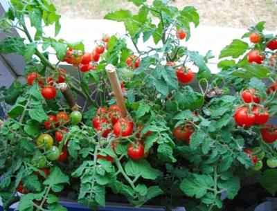 Подробная инструкция по выращиванию помидор на подоконнике зимой и летом
