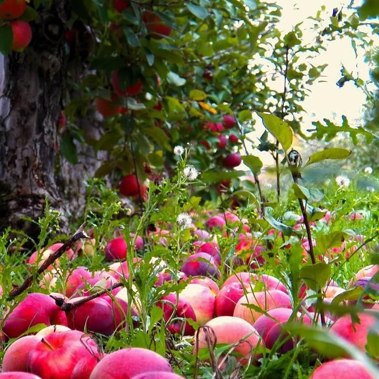 Что делать если начали трескаться яблоки на яблоне