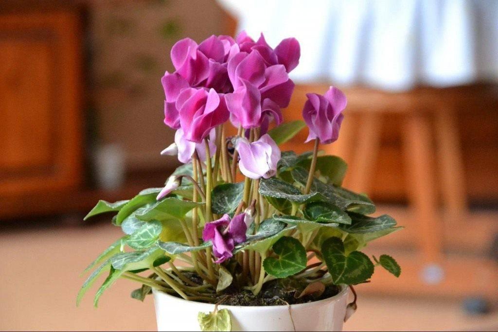 Цикламен из семян в домашних условиях: выращивание и уход