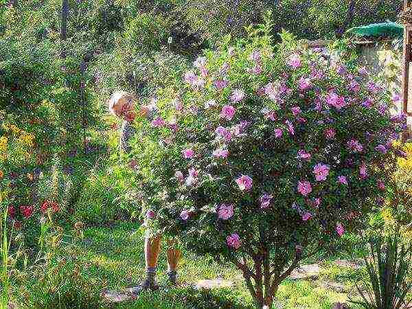 Выращивание и зимовка садового древовидного гибискуса