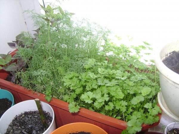Технология выращивания укропа на подоконнике в домашних условиях: правильный посев и уход