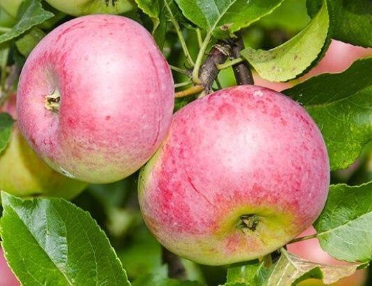 Сорт яблони под названием уэлси