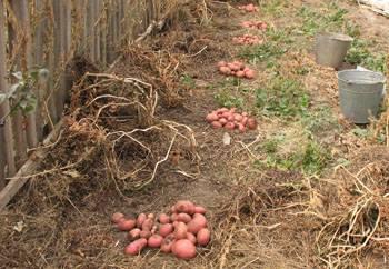 Посадка и выращивание картофеля по новым технологиям