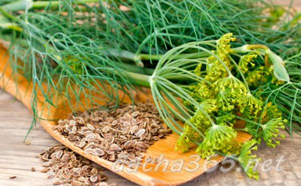 Кустовой, зонтичный и универсальный укроп – все о выращивании и сортах