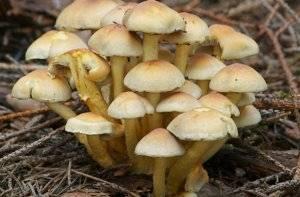 Как выглядят опята: 105 фото съедобных и ложных опят. как отличить и как приготовить грибы